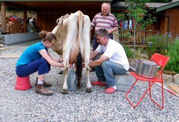 Pourquoi rêver de traire des vaches? Interprétation des rêves