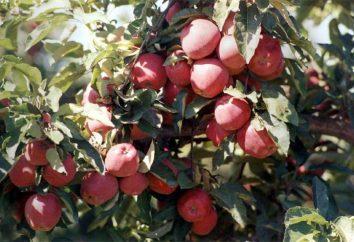 Grade Starkrimson (mela): descrizione, foto, caratteristiche di coltivazione