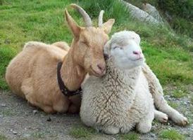 Rok owiec: opis i opis znaku
