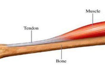 Quel est le tendon: définition, fonction, des exemples