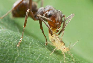 Pour plus d'informations sur la façon d'amener les fourmis du jardin et est-il vraiment nécessaire de faire