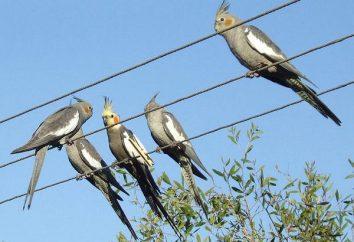 Corella: Konserwacja i pielęgnacja. Pet papugi
