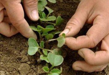 Crescere Ravanello: come ottenere un buon raccolto