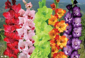 Come piantare bulbi di gladiolo giusto?