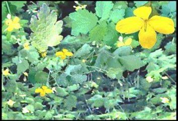 Il trattamento della psoriasi e di altre erbe celidonia