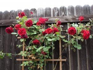 il y avait une escalade rose dans le jardin? La culture et les soins nécessitent des compétences