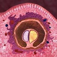 embrión humano – un milagro que con el tiempo se convertirá en un niño