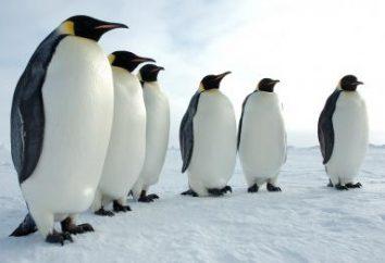 Penguins – un oiseau ou d'un animal? Questions et réponses