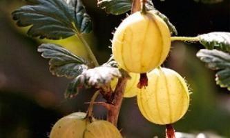 Malattie di arbusti da giardino: macchie bianche sulla uva spina