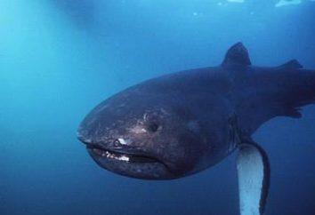 REKIN WIELKOGĘBOWY pelagicznych: zdjęcia, opis