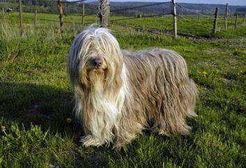 Un chien beaucoup Cabanons: ce qu'il faut faire et comment le combattre?