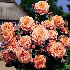 Shraby. rose Belvedere