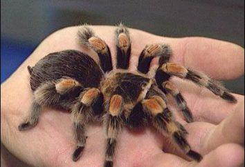 Spider – questo insetto, o no? Le principali differenze