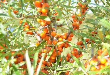 Vino dal olivello spinoso in casa – Ricetta