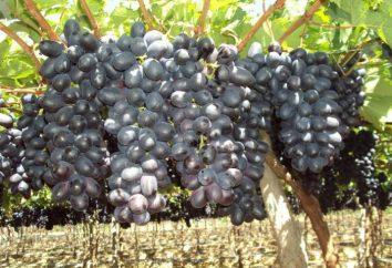 Raisins Pretty Woman: Variety Description et Grapes Care