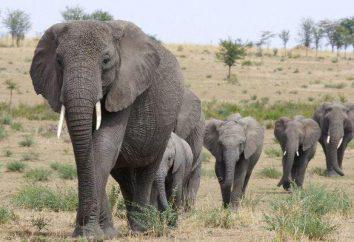Słoń – jest to największy ssak lądowy na naszej planecie. Opis i zdjęcia zwierząt