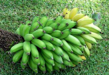 ¿Cómo hacer crecer un plátano o una idea para un negocio