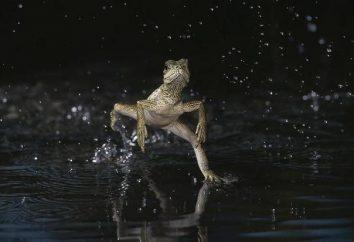 Basilic: lézard qui marche sur l'eau