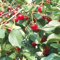 Sadzenie wiśni jesienią: podstawowe zasady