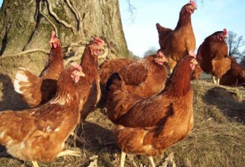 Come determinare l'età del pollo: possibile modi