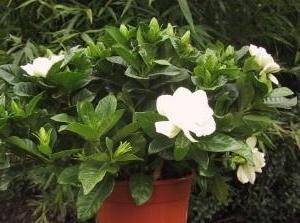 Fruitia jasmine délicat: soins à domicile