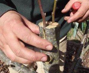 Innestando la scissione in alberi da frutta
