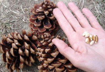 Il nucleo di pinoli: proprietà particolarmente utili e danni
