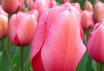 Jak dbać o tulipanów po kwitnieniu, aby je zachować