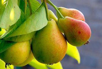 """Pear """"Victoria"""" Eigenschaften und Feinheit des wachsenden Sämlinge"""