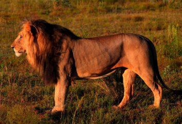 Où sont les lions? Animaux lion Afrique. lion animal sauvage