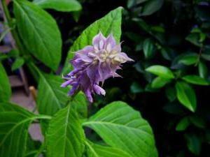 Salvia divinorum: il danno il divieto di coltivazione