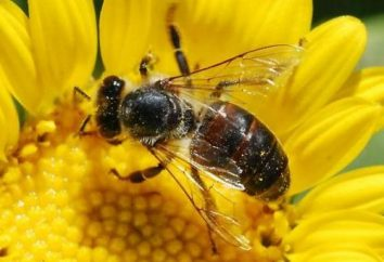 Combien d'abeilles qui vivent dans la nature