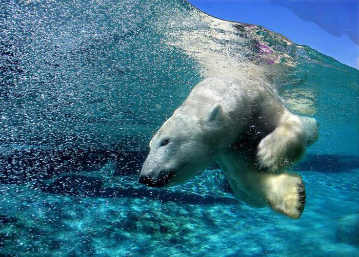 können giraffen schwimmen