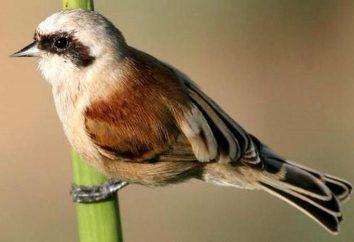 Niesamowity ptak Remez