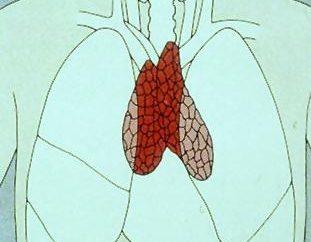 Thymus (Thymus). Thymus – Struktur. Thymus – Standort