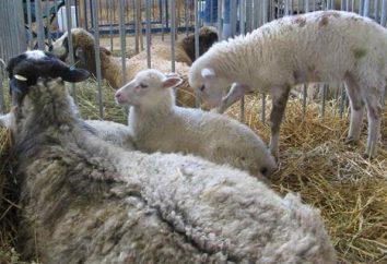 Il y a une telle race de moutons Romanov