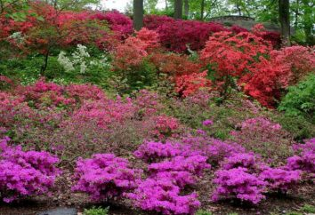 Alpine Rose: foto, semina, la cura, l'allevamento