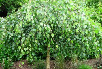 Uprawianych drzew: nazwa. Nazwy drzew należących do kulturowego