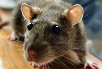 Interpretação dos sonhos: O que significa se sonhava com um rato