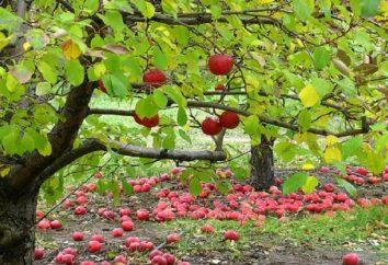 Outono e inverno variedades de maçã para Urais