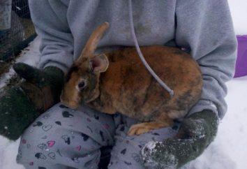 Co karmić królika w zimie? Hodowla królików w okresie zimowym. I karmienie królików w zimie