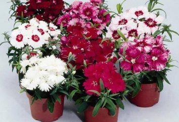 Dianthus barbatus: wächst aus Samen ist leicht und einfach!