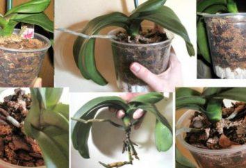 Come trapiantare l'orchidea – e ci sono sfumature