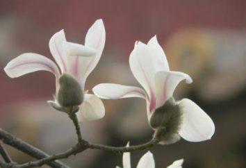Magnolia grandiflora: Descripción y cultivo