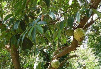 Owoce guanabana: Opinie lekarzy. Czy traktuje raka Guanabana?