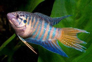 Makropody (poisson): la compatibilité avec les autres poissons dans l'aquarium