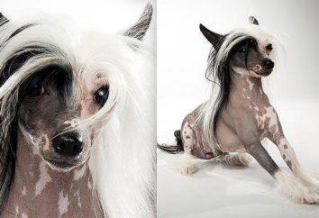 perros chinos grandes y pequeños, calvo y peludo. Perro chino de Chongqing (fotos)