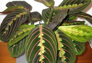 Gość z tropików – maranta. Opieka w domu ma swoje niuanse