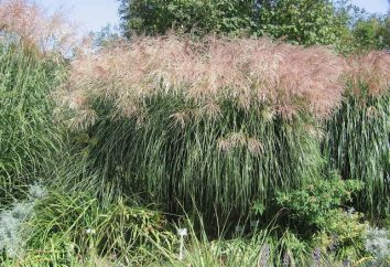 Miscanthus – roseau chinois
