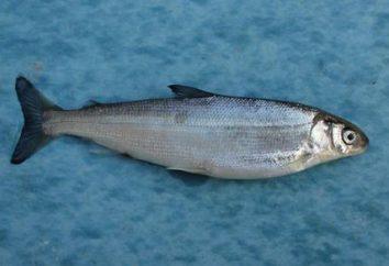 Corégone (poisson): recettes